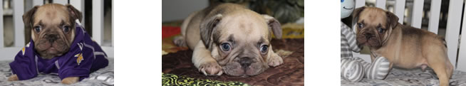 French Bulldog Puppies for Sale and Avail-a-bull!