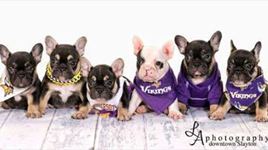 French Bulldog Puppies | Beggin For Bullies South Dakota